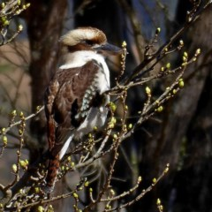 Dacelo novaeguineae (Laughing Kookaburra) at Brogo, NSW - 20 Aug 2019 by MaxCampbell
