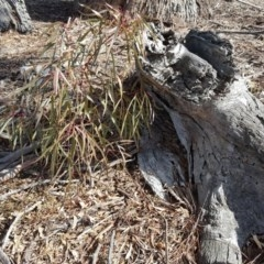Brachychiton populneus subsp. populneus (Kurrajong) at Mount Mugga Mugga - 4 Aug 2019 by Mike