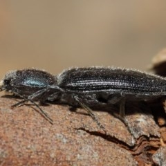 Crepidomenus fulgidus (Click beetle) at ANBG - 16 Aug 2019 by TimL