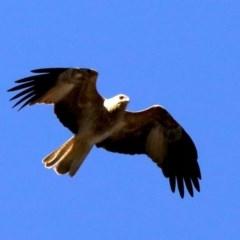 Haliastur sphenurus (Whistling Kite) at Mount Ainslie - 20 Aug 2019 by jbromilow50