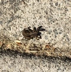 Unidentified Wolf spider (Lycosidae) (TBC) at Undefined - 21 Aug 2019 by FelicityM