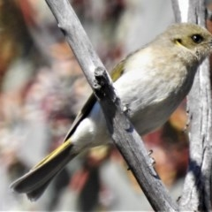 Ptilotula fuscus (Fuscous Honeyeater) at Jerrabomberra Wetlands - 21 Aug 2019 by JohnBundock