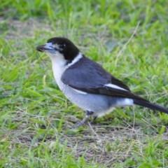 Cracticus torquatus (Grey Butcherbird) at Berry, NSW - 18 Aug 2019 by Andrejs