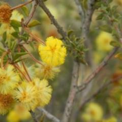 Acacia gunnii (Ploughshare Wattle) at Wanniassa Hill - 21 Aug 2019 by MisaCallaway