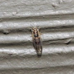 Psyllidae sp. (family) (Unidentified psyllid or lerp insect) at ANBG - 19 Aug 2019 by TimL