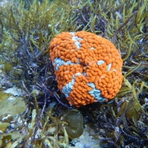 Phlyctenactis tuberculosa at Bawley Point, NSW - 22 Aug 2019
