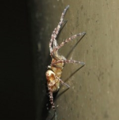 Araneidae sp. (family) at Acton, ACT - 19 Aug 2019