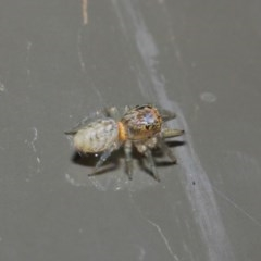 Opisthoncus sp. (genus) (Unidentified Opisthoncus jumping spider) at ANBG - 19 Aug 2019 by TimL
