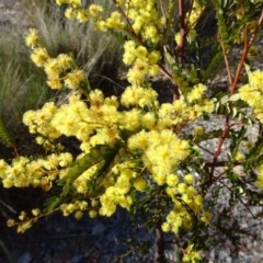 Acacia terminalis (Sunshine Wattle) at Sth Tablelands Ecosystem Park - 22 Aug 2019 by galah681