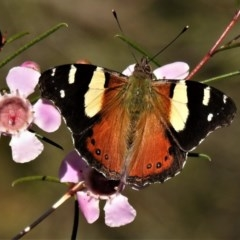 Vanessa itea (Yellow Admiral) at ANBG - 22 Aug 2019 by JohnBundock