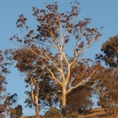 Eucalyptus melliodora (Yellow Box) at Rob Roy Range - 20 Aug 2019 by michaelb
