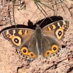 Junonia villida (Meadow Argus) at Ainslie, ACT - 30 Jul 2019 by jbromilow50