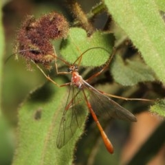 Enicospilus sp. (genus) (An ichneumon wasp) at ANBG - 16 Aug 2019 by TimL