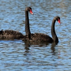 Cygnus atratus (Black Swan) at Milton, NSW - 12 Aug 2019 by CharlesDove