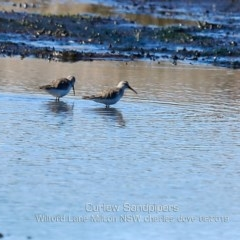 Calidris ferruginea (Curlew Sandpiper) at Milton, NSW - 12 Aug 2019 by Charles Dove
