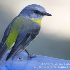 Eopsaltria australis (Eastern Yellow Robin) at Tabourie Lake Walking Track - 11 Aug 2019 by CharlesDove