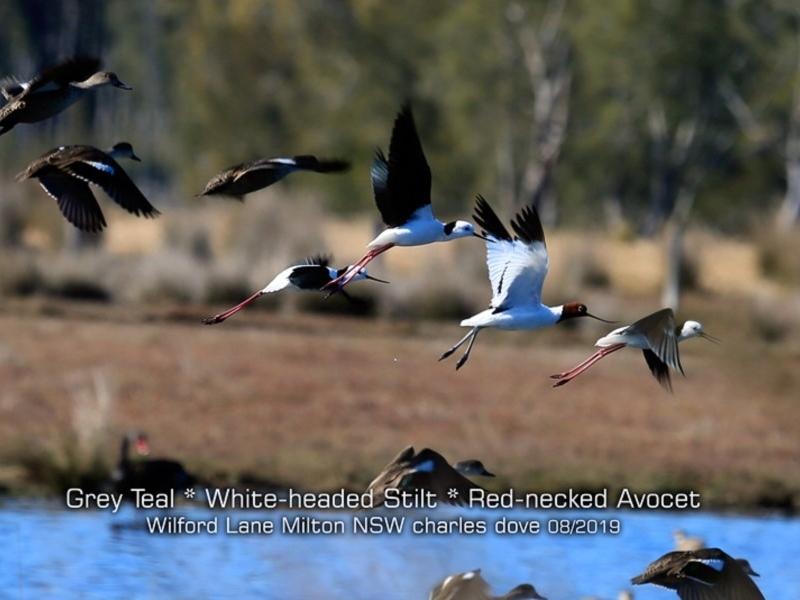 Recurvirostra novaehollandiae at Milton, NSW - 12 Aug 2019