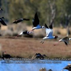 Recurvirostra novaehollandiae (Red-necked Avocet) at Milton, NSW - 11 Aug 2019 by Charles Dove