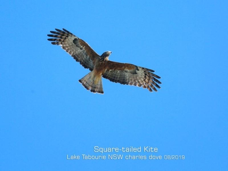 Lophoictinia isura at Lake Tabourie Bushcare - 12 Aug 2019