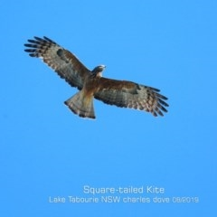 Lophoictinia isura (Square-tailed Kite) at Lake Tabourie Bushcare - 11 Aug 2019 by Charles Dove