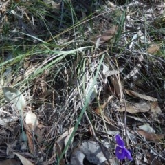 Patersonia sericea var. sericea (Silky Purple Flag) at Meroo National Park - 23 Aug 2019 by GLemann