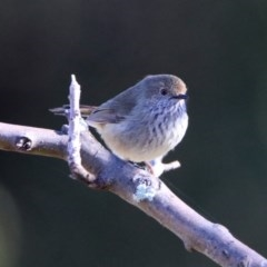 Acanthiza pusilla (Brown Thornbill) at Macarthur, ACT - 23 Aug 2019 by RodDeb