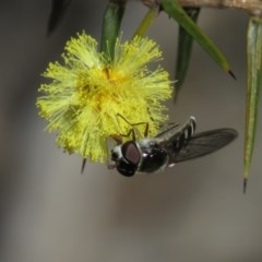 Melangyna sp. (genus) (Hover Fly) at Stony Creek Nature Reserve - 24 Aug 2019 by KumikoCallaway