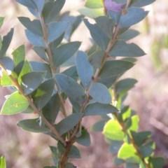 Acacia cultriformis (Knife Leaf Wattle) at Wanniassa Hill - 24 Aug 2019 by KumikoCallaway