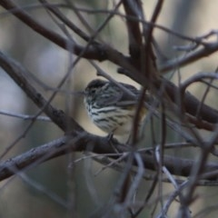 Pyrrholaemus sagittata (Speckled Warbler) at Red Hill Nature Reserve - 23 Aug 2019 by LisaH