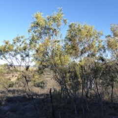 Acacia rubida (Red-leaved Wattle) at Rugosa at Yass River - 23 Aug 2019 by SenexRugosus