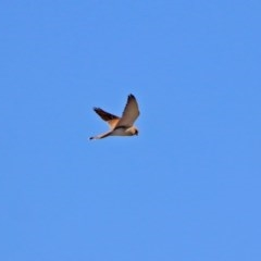 Falco cenchroides (Nankeen Kestrel) at Jerrabomberra Wetlands - 24 Aug 2019 by RodDeb