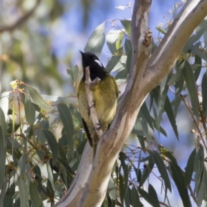 Nesoptilotis leucotis at Michelago, NSW - 22 Jun 2019