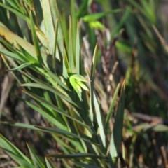 Stypandra glauca (Nodding Blue Lily) at Wanniassa Hill - 24 Aug 2019 by KumikoCallaway