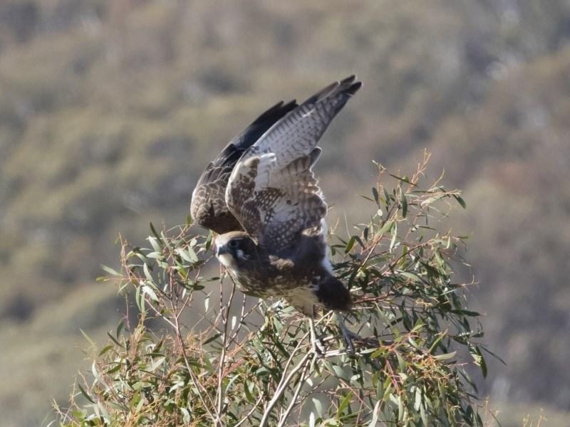 Falco berigora at Michelago, NSW - 12 May 2019