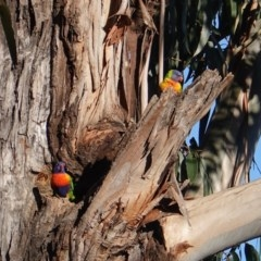 Trichoglossus moluccanus (Rainbow Lorikeet) at Red Hill Nature Reserve - 25 Aug 2019 by JackyF