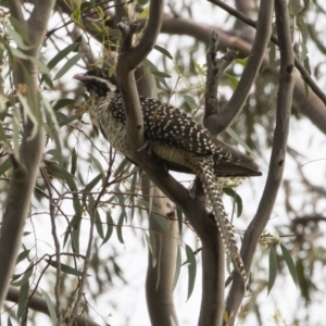 Eudynamys orientalis at Illilanga & Baroona - 12 Jan 2019