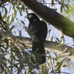 Eudynamys orientalis (Eastern Koel) at Michelago, NSW - 3 Jan 2019 by Illilanga