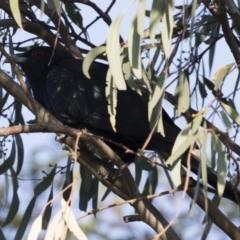 Eudynamys orientalis at Michelago, NSW - 4 Jan 2019