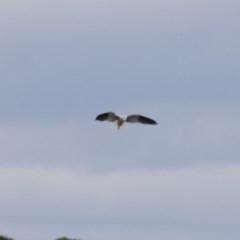 Elanus axillaris (Black-shouldered Kite) at Illilanga & Baroona - 23 Aug 2018 by Illilanga