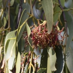 Amyema miquelii (Box Mistletoe) at Illilanga & Baroona - 22 Feb 2019 by Illilanga