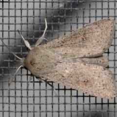 Mythimna convecta (Common Armyworm) at Evatt, ACT - 19 Aug 2019 by TimL