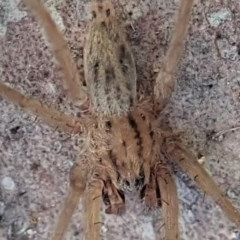 Miturga sp. (genus) (Unidentified False wolf spider) at Mount Painter - 21 Aug 2019 by CathB