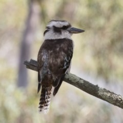 Dacelo novaeguineae (Laughing Kookaburra) at Illilanga & Baroona - 17 Dec 2017 by Illilanga