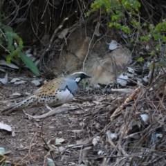 Cinclosoma punctatum (Spotted Quail-thrush) at Burrinjuck, NSW - 24 Aug 2019 by RyuCallaway