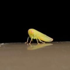 Cicadellidae sp. (family) (Unidentified leafhopper) at ANBG - 12 Aug 2019 by TimL