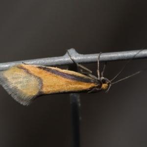 Philobota undescribed species near arabella at ANBG - 26 Aug 2019
