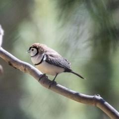 Taeniopygia bichenovii (Double-barred Finch) at Bruce, ACT - 25 Aug 2019 by Alison Milton