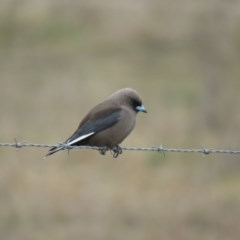 Artamus cyanopterus (Dusky Woodswallow) at Burradoo - 27 Aug 2019 by Snowflake