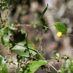 Eustrephus latifolius (Wombat Berry) at Bundanoon - 19 Aug 2019 by Boobook38