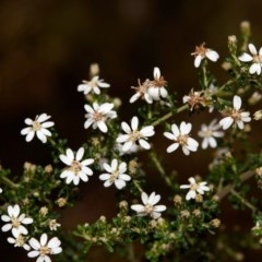 Olearia microphylla (Olearia) at - 27 Aug 2019 by Boobook38